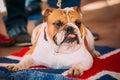 Close Up Young White English Bulldog Dog Royalty Free Stock Photo