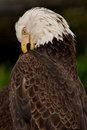 Close view bald eagle preening itself Royalty Free Stock Photo