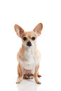Close view chihuahua Stock Images