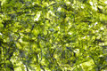 Close view compressed seaweed a of wafer thin that has been and dried Stock Image
