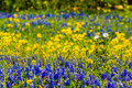 Close View of a Field Blanketed with the Famous Texas Bluebonnet and Other Assorted Wildflowers