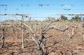 Close View of Grape Vine Canes on Trellis. Royalty Free Stock Photo