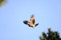 Close view of Japanese Black Kite Bird Royalty Free Stock Photo