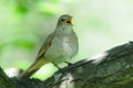 Close view of singing nightingale Royalty Free Stock Photo