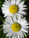 Close view on two daisies sunlit by the timid spring sun Royalty Free Stock Images