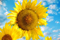 Close view of two sunflowers on a background of blue sky Royalty Free Stock Photo