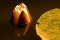 Closed blossom of a water lily Royalty Free Stock Photo