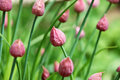 Closed chive flower buds closeup of unopened pink Stock Photography