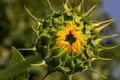 Closed green sunflower at sunrise waiting the macro Royalty Free Stock Photos