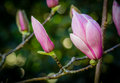 Closed magnolia buds Royalty Free Stock Photo