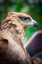 Closed up black kite or milvus migrans Stock Image