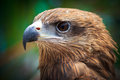 Closed up black kite or milvus migrans Royalty Free Stock Photography