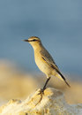 Closer look of isabelline wheatear is a migratory insectivorous bird Stock Photo