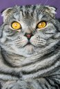 Closer look of the Scottish fold cat on a purple background Royalty Free Stock Photo