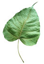 Closer up detail of green dry leaf isolated white Royalty Free Stock Photography