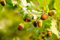 Closeup acorns Royalty Free Stock Photos