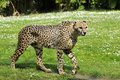 Closeup of African Cheetah Royalty Free Stock Images