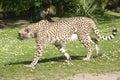 Closeup of African Cheetah Royalty Free Stock Photo