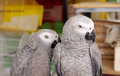 Closeup of African Grey parrots Royalty Free Stock Images