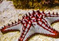 Closeup of a african red knob sea star, tropical starfish specie from the indo-pacific ocean, marine life background Royalty Free Stock Photo
