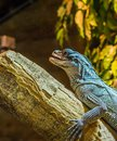 Closeup Of A Amboina Sail Fin Lizard Sitting On A Branch, Tropical Iguana From Indonesia