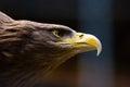 Closeup American Bald Eagle Royalty Free Stock Photo