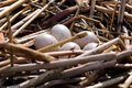 Closeup of American Coot eggs in a nest Royalty Free Stock Photo