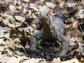 Closeup of angry-looking Komodo dragon rooting in dirt and dry leaves