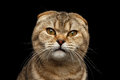 Closeup Angry Scottish fold Cat with cunning eyes Isolated Black Royalty Free Stock Photo