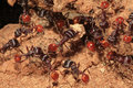 Closeup of ants as they work to enlarge their ant hill multiple Royalty Free Stock Photos