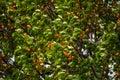 Closeup apricot tree Royalty Free Stock Photo