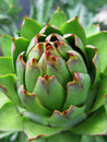Closeup of artichoke Royalty Free Stock Image