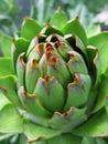 Closeup of artichoke Royalty Free Stock Photo