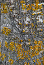 Closeup of an aspen tree bark with yellow lichen Royalty Free Stock Photo