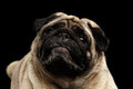 Closeup attentively pug dog curious looking up black isolated background portrait of in front of the Royalty Free Stock Photography