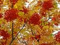 Closeup autumn rowan-berry Stock Image