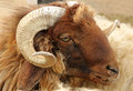 Closeup of awassi sheep Royalty Free Stock Photo