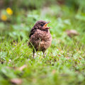 Closeup of a baby Common Blackbird Royalty Free Stock Photo
