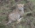 Closeup backview of one young cheetah lying in grass looking backward toward camera Royalty Free Stock Photo