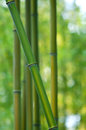 Closeup bamboo tree shallow dof Royalty Free Stock Photo