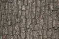 Closeup of bark tree  texture Royalty Free Stock Photography