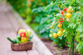 Closeup basket of greenery and vegetables in the greenhouse. Time to harvest. Royalty Free Stock Photo