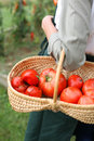 Closeup of basket of red tomatoes fresh in Stock Photo
