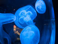 Closeup of Beautiful Blue Moon Jellyfish (Aurelia aurita) Royalty Free Stock Photo