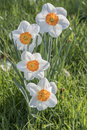 Closeup of beautiful Daffodil flowers on blurred background Royalty Free Stock Photo
