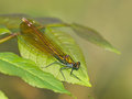 Closeup of a beautiful demoiselle dragonfly calopteryx virgo female on a leaf Royalty Free Stock Images