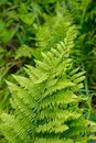 Closeup of a Fern Plant at a Wildflower Garden Royalty Free Stock Photo