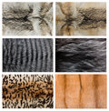 Closeup of beautiful fox wolf mink fur. Stock Photos