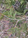 Closeup of Beautiful green leaves and cone of Thuja trees. Close up of Thuja branch in spring