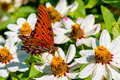 Closeup of a Beautiful Gulf Fritillary or Passion Butterfly in a Sea of White Flowers Royalty Free Stock Photo
